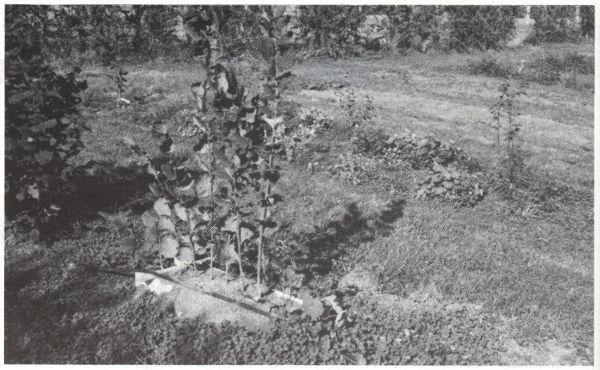 Layering hazels, 1985