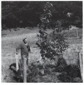 Nurseryman Clarry Jones beside one of the walnuts in an early trial at Orton Bradley Park near Christchurch.